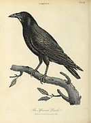 African Rook [Corvus frugilegus] Copperplate engraving From the Encyclopaedia Londinensis or, Universal dictionary of arts, sciences, and literature; Volume V;  Edited by Wilkes, John. Published in London in 1810