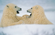 Polar Bear cubs (Ursa maritimus) sparring on sub-arctic Hudson Bay ice; young; babies; carnivore; predator<br /> Churchill<br /> Manitoba<br /> Canada