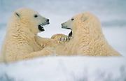 Polar Bear cubs (Ursa maritimus) sparring on sub-arctic Hudson Bay ice; young; babies; carnivore; predator<br /> Churchill<br /> Manitoba<br /> Canada