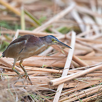 The yellow bittern (Ixobrychus sinensis) is a small bittern. This is a small species at 36 to 38 cm in length, with a short neck and longish bill. The male is uniformly dull yellow above and buff below. The head and neck are chestnut, with a black crown.