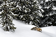 Red Fox in a forest along the Gibbon River, Yellowstone