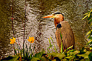 A Great Blue Heron (Ardea herodias) stalks his prey along a ponds edge at Mount Auburn Cemetery in Cambridge, Massachusetts.  <br /> <br /> The Great Blue Heron is common near the shores of open water and in wetlands throughput most of North and Central America, as well as the Caribbean and the Galápagos Islands. It is the largest North American heron and the third largest heron in the world.  Great blue herons are 115–138 cm (45–54 in) tall with a wingspan of 167–201 cm (66–79 in) and weigh about 2.23 kg (4.9 lb) in New England where this individual was photographed.  These herons have long legs and cover approximately 22 cm (8.7 in) with each stride.  <br /> <br /> Herons locate their food by sight and usually swallow it whole. Typically, the great blue heron feeds in shallow waters, usually less than 50 cm (20 in) deep, by wading slowly and quickly spearing prey with its long, sharp bill. The primary food for the great blue heron is small fish, although they have been observed to feed on shrimp, crabs, aquatic insects, rodents, and small mammals, amphibians, reptiles, and birds.
