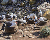 Black-browed Albatross (Thalassarche melanophris). Image taken with a Leica T camera and 18-56 mm lens.
