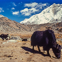 Yaks graze below Nuptse peak in the Khumbu region of Nepal. 1980