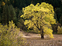 A Black Walnut tree (Juglans nigra) wears autumn yellow leaves as the summer ends and winter approaches, Klickitat County, Washington, USA