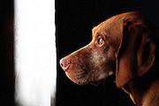 SHOT 1/30/12 11:08:48 AM - Tanner, a male seven year-old Vizsla, stares out the front door while fixated on a squirrel in the front yard of his Denver, Co. home. .(Photo by Marc Piscotty / © 2012)