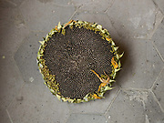 Sunflower seeds, Dali market, Yunnan Province, China.  Sunflowers a grown for their seeds which are dried and eaten as a snack all over China.