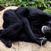 Siamangs, Largest member of the gibbon family. Malaysia and Sumatra. Captive Animal.