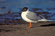 Bonaparte's Gull - Chroicocephalus philadelphia - Adult breeding