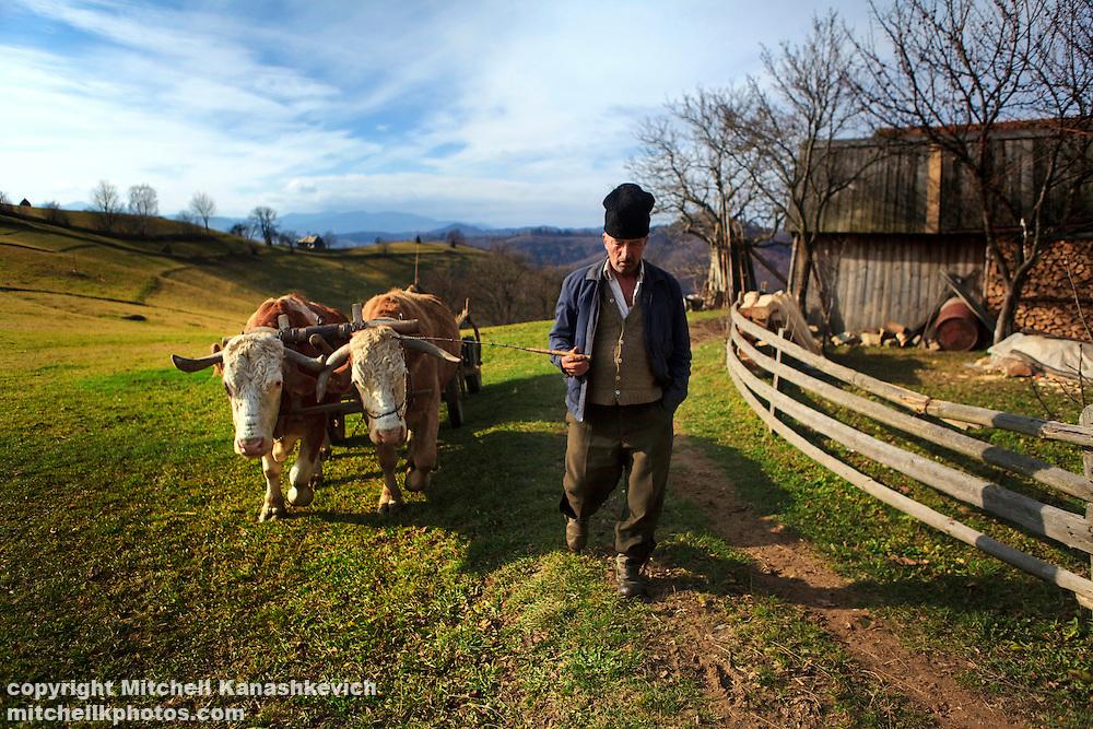 Rural Romanian man walking his bullock in the countryside region of Transylvania