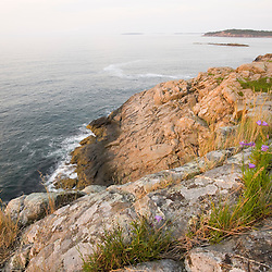 Early morning on the cliffs of Great Head in Maine's Acadia National Park.  Bluebells, Campanula rotundifolia.  Also known as harebell.