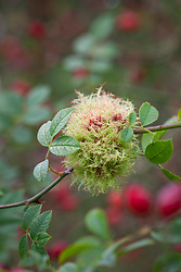 Rose bedeguar gall, Robin's pincushion gall, or moss gall growing amongst rose hips. Diplolepis rosae