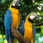Blue and Gold Macaw, (Ara ararauna) In bird park. Ranges from Central America to South America.  Captive Animal.