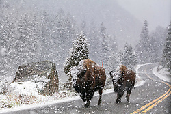 Bison walking down the road during a spring snow in Yellowstone National Park.