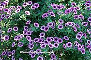 65021-02408 Wave Petunias in hanging basket  Missouri Botanical Gardens St. Louis  MO