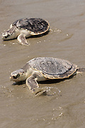 Kemp's Ridley sea turtles crawl into the waves during the release of rehabilitated sea turtles May 14, 2015 in Isle of Palms, South Carolina. The turtles were rescued along the coast and rehabilitated by the sea turtle hospital at the South Carolina Aquarium in Charleston.