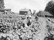 9969-5158. Strawberry picker Mrs. Burt Burnett, from California and Texas in 1929. May 29, 1941. working on the T. Shigeno berry farm near Helvetia, Oregon
