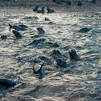 Scores of young Southern Fur Seals frolic in Stromness Bay, South Georgia, Antarctica.