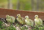Middletown, New York - Goslings walk along a fence at Fancher-Davidge Park on May 7, 2011.
