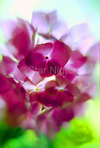 Portrait of a Hydranda on my window sill. The lighting and the pink petals were such an inspiring beauty it seemed well worth remembering.<br /> <br /> <br /> photo by Star Nigro<br /> <br /> ©2021 All artwork is the property of STAR NIGRO.  Reproduction is strictly prohibited.<br /> <br /> ©2019 All artwork is the property of STAR NIGRO.  Reproduction is strictly prohibited.