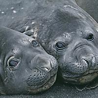 Southern elephant seals lounge on sandy beach on King George Island (South Shetland Islands).