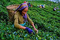 Inde, Bengale Occidental, Darjeeling, Domaine du thé de Castleton, cueillette du thé // India, West Bengal, Darjeeling, Castleton tea estate, tea picker picking tea leaves