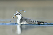 Grey Phalarope - Phalaropus lobatus - Winter Adult. L 20-21cm. Confiding wader that habitually swims and spends its non-breeding life at sea. Bill is shorter and stouter than similar Red-necked, and has yellow base. Sexes are dissimilar in breeding plumage (seen here occasionally). Winter adult has grey upperparts, white underparts, dark cap and nape, and black 'panda' mark the eye. Adult female in summer has orange-red neck and underparts, dark crown, white face patch, and buff-fringed dark back feathers. Adult male in summer is similar but duller. Juvenile recalls winter adult but plumage is tinged buff and back feathers are dark with buff fringes. Voice Utters a sharp pit flight call. Status Nests in high Arctic, winters in tropical seas and seen here on migration, mostly in autumn but sometimes spring. Mainly coastal but sometimes on reservoirs.