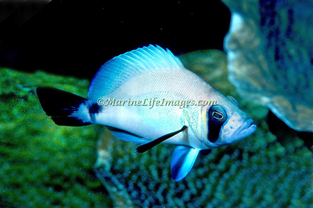 Masked Hamlet inhabit reefs in SW & NW Caribbean; picture taken Roatan, Honduras.