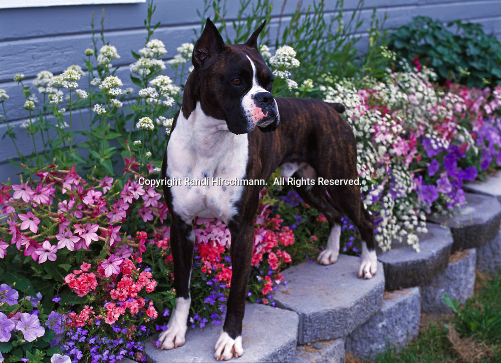 """Boxer, AKC, 2-year-old """"Brutus"""" photographed in Palmer, Alaska, owned by Donna Wilson-Meekin of Palmer, Alaska.  (PR)"""