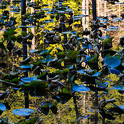 An abstract reflection of forest and lily pads in the Pacific Northwest.