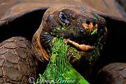 giant tortoise, Geochelone elephantopus, feeding on vegetation, Santa Cruz Island, Galapagos Islands, Ecuador ( Eastern Pacific )