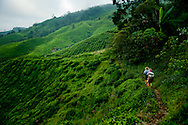 Malaysia. Green slopes of tea fields in Cameron Highlands, Boh Tea Estate. People starting their work early in the morning.