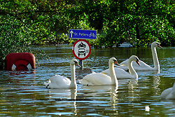 Swans swim in the centre of flooded Worcester, England, UK.