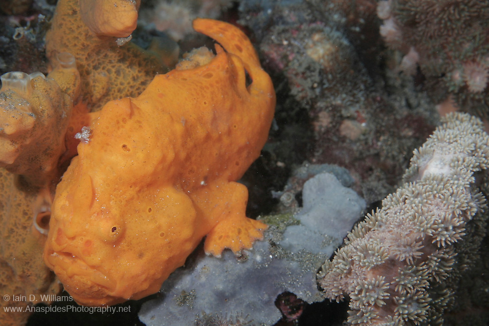 Frogfish are lie & wait carnivorous predators.  They have an appendenge above their head which is waved about to attract prospective prey.  All frogfish have large mouths are are capable of swallowing prey to their own size.  Rather than swim above the bottom, they walk along the substrate using their pectral fins.  Frogfish inhabit reef areas to a depth 73 m.  Often within one species there will be several different colour variations or phases; brown, black, yellow, white, yellow, red and orange being the most common.  Some species have hairy variations and maybe covered in numberous small wart-like knobs.  Frogfish have been known to mimic the colours of the surrounding terrain (ie sponges & ascidians).  Variable size depending species.   Length 2 - 30 cm