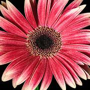 Close up of a redish gerber daisy with water drops.