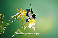 01162-05110 Ruby-throated Hummingbird (Archilochus colubris) male on Yellow Columbine (Aquilegia chrysantha) Shelby Co.  IL