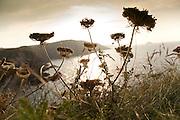 Cow parsley by coast near Polzeath, Cornwall, England, UK