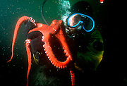 UNDERWATER MARINE LIFE EAST PACIFIC, Northeast DIVING: Scuba diver in cold water gear, with a small Giant Pacific Octopus