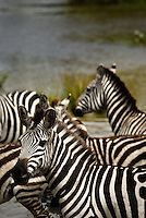 Burchell's Zebra crossing a river in the Masai Mara National Park, Kenya