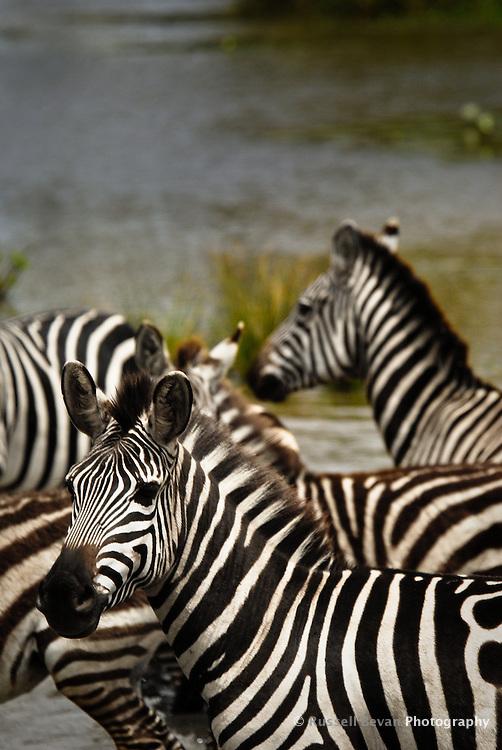 Burchell's Zebra crossing a river in the Masai Mara National Park, Kenya