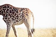 A giraffe in the Masai Mara National Reserve, Kenya, Africa