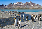 A group of King Penguins (Aptenodytes patagonicus) cross a stream whilst heading back to the rookery, Fortuna Bay, South Georgia Island, South Atlantic Ocean