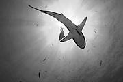 Gray reef shark ( Carcharhinus amblyrhynchos ), underside silhouette with sunburst, Fathers reefs, Kimbe Bay