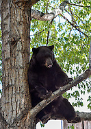 A massive bear perches in a tree in the middle of the Hyman Avenue Mall in Aspen, Colorado.