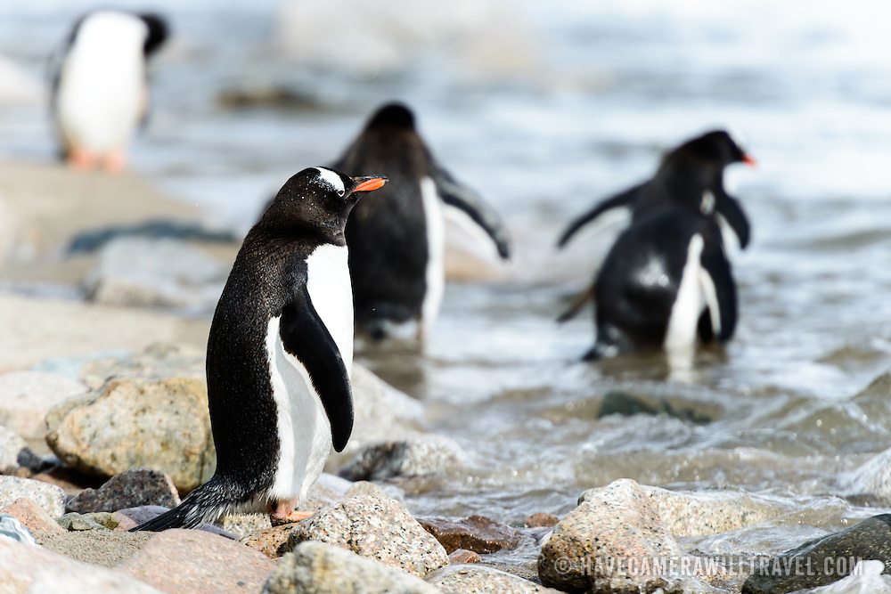 Gentoo penguins (Pygoscelis papua) on the shoreline at Neko Harbour on the Antarctic Peninsula.