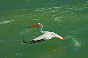 American white pelican (Pelecanus erythrorhynchos)  taking flight from Fairford River<br />