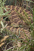 Prairie Rattlesnake in Habitat