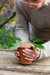Taking leaf bud cuttings from a camellia. Tapping pot on bench to settle soil