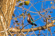 White-breasted Kingfisher Halcyon smyrnensis. The adult has a bright blue back, wings and tail. Its head, shoulders, flanks and lower belly are chestnut, and the throat and breast are white. This tree kingfisher is widely distributed in south Asia from Turkey east to the Philippines. Israel, winter January 2007