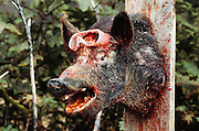 """Paint splattered pig (used for target practice) at the """"Quest"""" Paint Gun Combat Park.  Malibu, California, USA."""